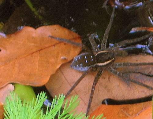 pond-spider