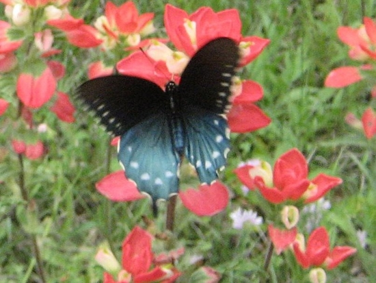Texan butterfly foraging in Indian Paintbrush. photo by Tui Cameron