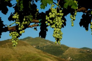 Southern Italian vineyard. (photo by Tui Cameron)