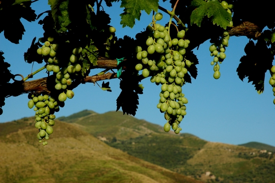 Southern Italian vineyard. (photo by Tui Cameron)