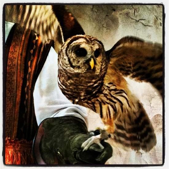 Screech owl at the Scarborough Renaissance Fair (photo by Tui Snider)