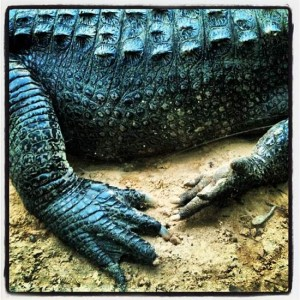 Alligator at the Athens Texas Freshwater Fisheries Center (photo by Tui Snider)