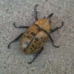 Kafka, my pet Eastern Hercules Beetle a.k.a. Dynastes Tityus (photo by Tui Snider)