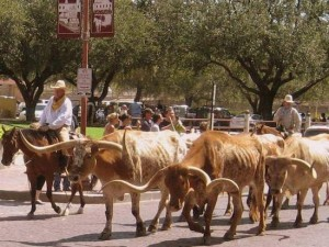Fort Worth Stockyards daily cattle drive (photo by Tui Snider)