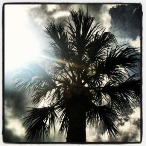 Florida palm tree (photo by Tui Snider)