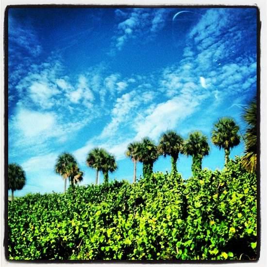 Florida palm tree (photo by Tui Snider)