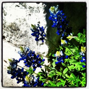 Bluebonnets are a Texas tradition (photo by Tui Snider)