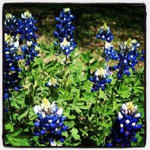 Bluebonnets are the Texas State Flower (photo by Tui Snider)