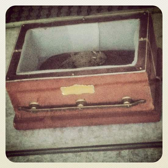 Old Rip on display in his tiny velvet casket (photo by Tui Snider)