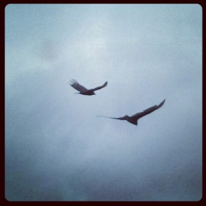 Turkey vultures in north Texas (photo by Tui Snider)