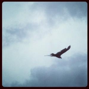 Turkey vulture soars through the Texas sky (photo by Tui Snider)