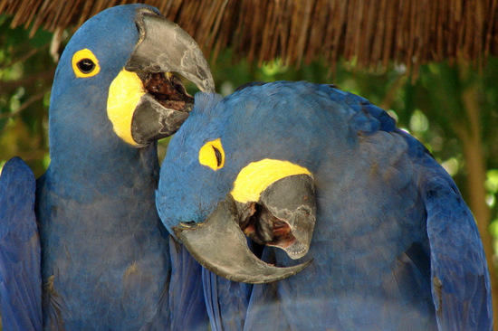 Hyacinth Macaws at the Fort Worth Zoo in Texas (photo by Tui Snider)