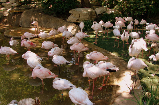 Flamingos at the Fort Worth Zoo (photo Tui Snider)