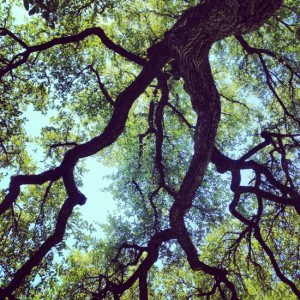Famous Texas Tree: Turner Oak in Fort Worth, TX (photo by Tui Snider)