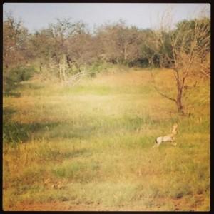 Texas jackrabbit sighting! (photo by Tui Snider)