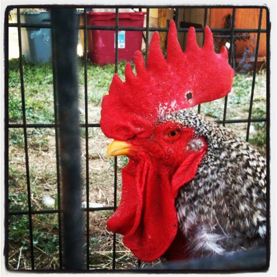 Rooster for sale at Antique Alley Texas (photo by Tui Snider)