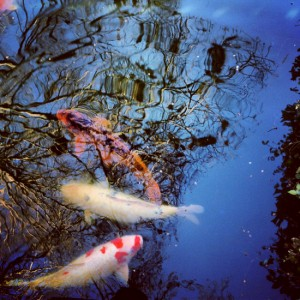 Koi fish & reflections at the Fort Worth Botanic Gardens (photo by Tui Snider)