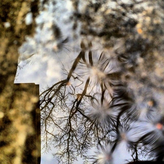 Oak tree reflections in my front porch puddle (photo by Tui Snider)