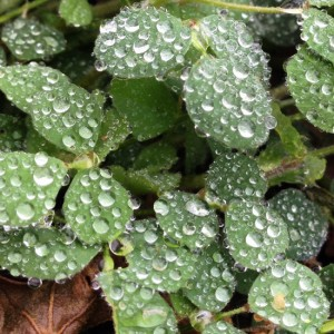 Dewdrops on clover (photo by Tui Snider)