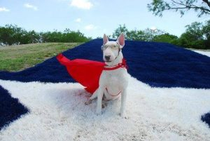 Canine comic book celebrity, Tugg the Superhero Bull Terrier (photo provided courtesy of the Granbury Paranormal Expo)